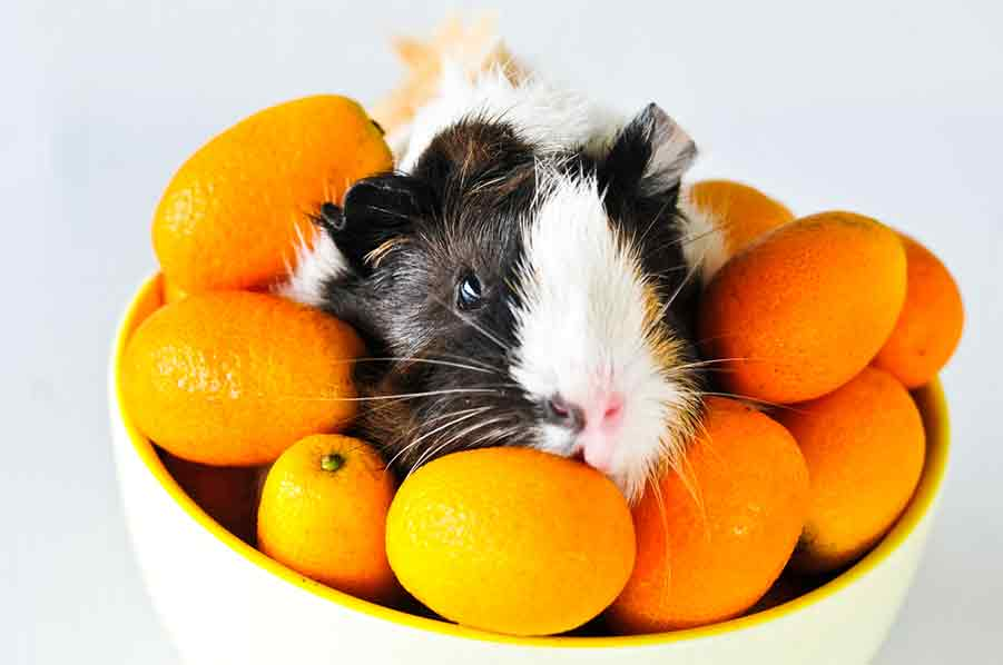 Can Guinea Pigs Eat Oranges