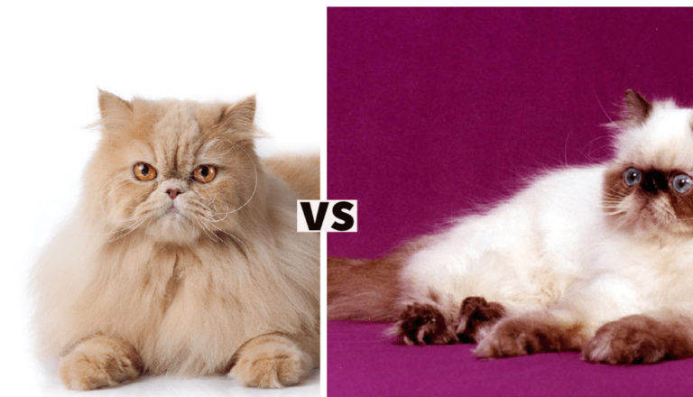 Persian Cat vs Himalayan Cat