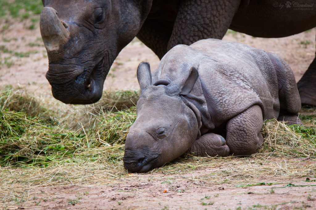 Baby Rhino lays down next to mother Rhinoceros