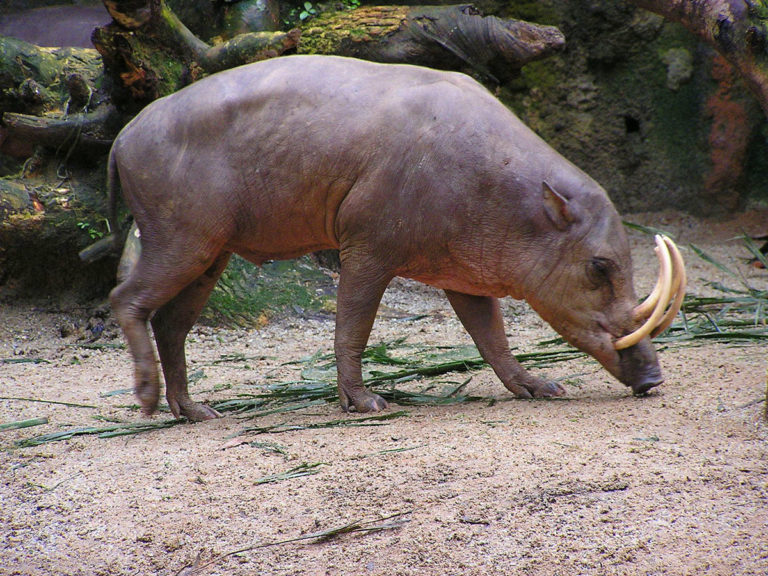 A Babirusa hunting for food