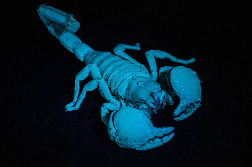 Scorpions often glow green or blue when exposed to ultra-violent light