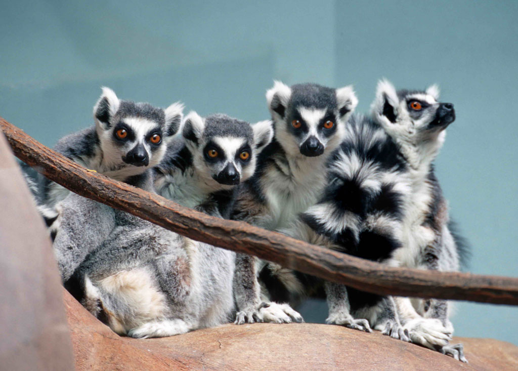 Lemur family gathers together closely at the Boise Zoo