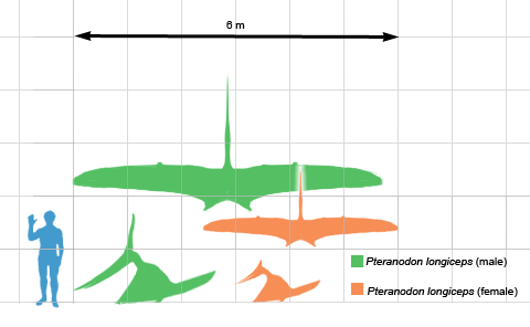 Scale comparison of a human to a pteranodon