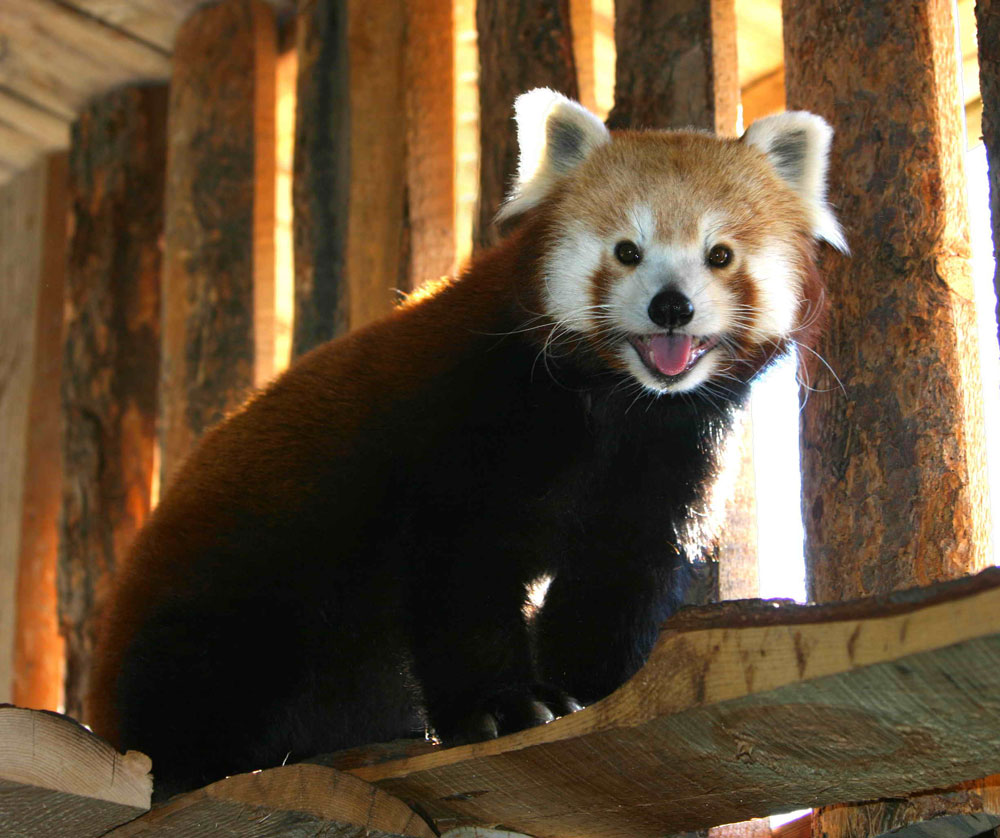A Red Panda at the Zoo in Boise Idaho