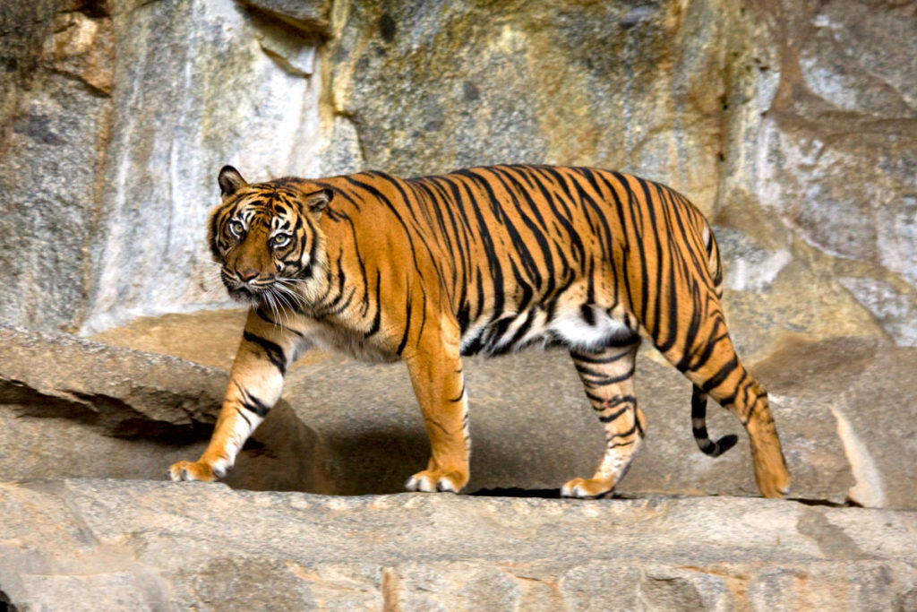 Sumatran Tiger Walking in his enclosure at the zoo