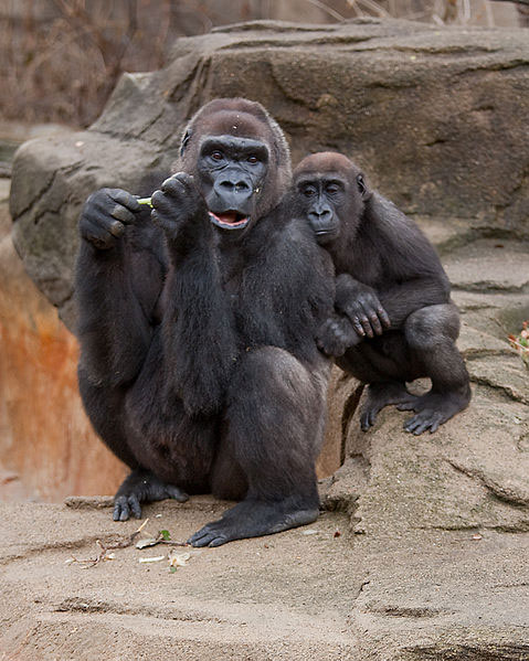 Baby and Mother Western Lowland Gorilla