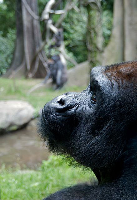 Western Lowland gorilla looking up