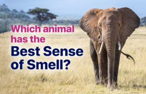 Which animal has the best sense of smell?