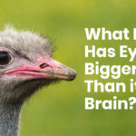 What bird has eyes bigger than its brain?