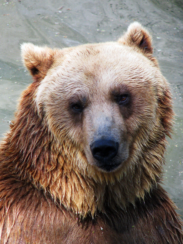 Brown Bear Looking at the camera with wet fur