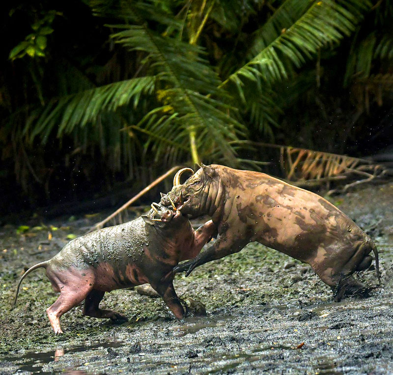 Two babirusas fighting with their tusks