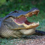 Does an alligator have a tongue?