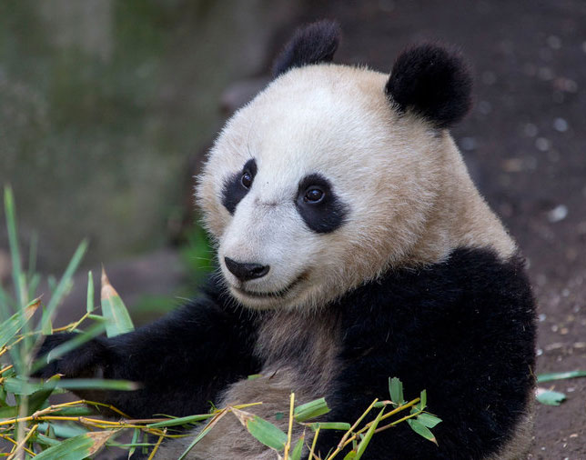 San Diego Zoo Successfully bred giant pandas from China