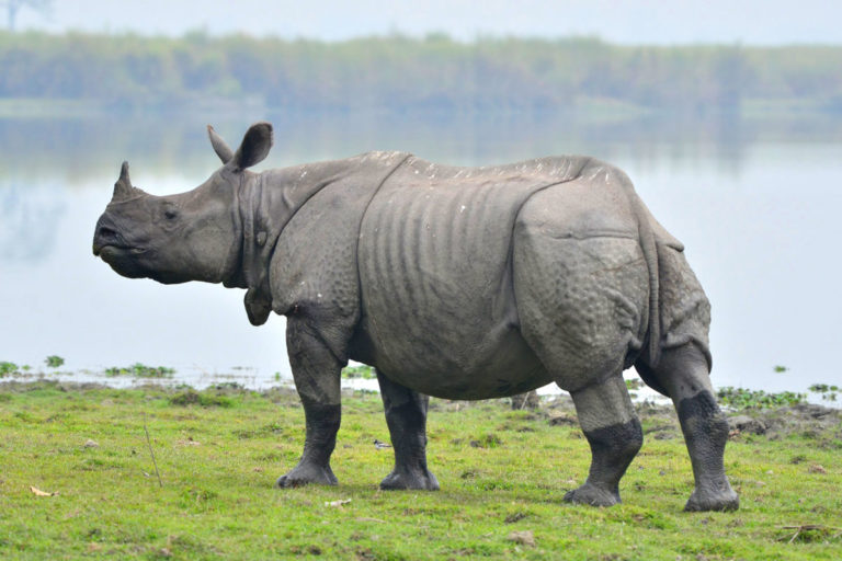 Greater Indian Rhino standing in a field by water with one horn