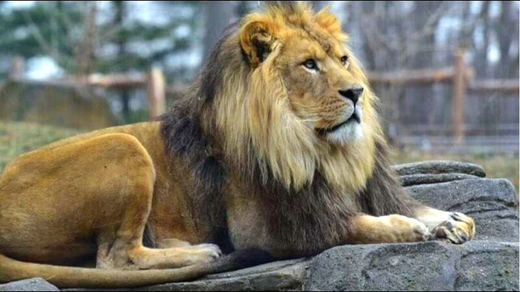 A lion at the zoo in his enclosure