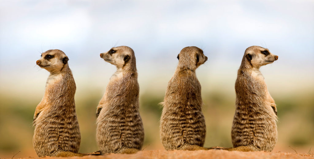 Four meerkats keeping watch out for predators