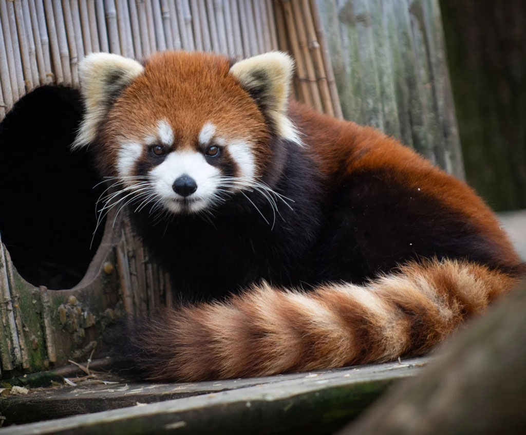 A Red Panda sitting in its home