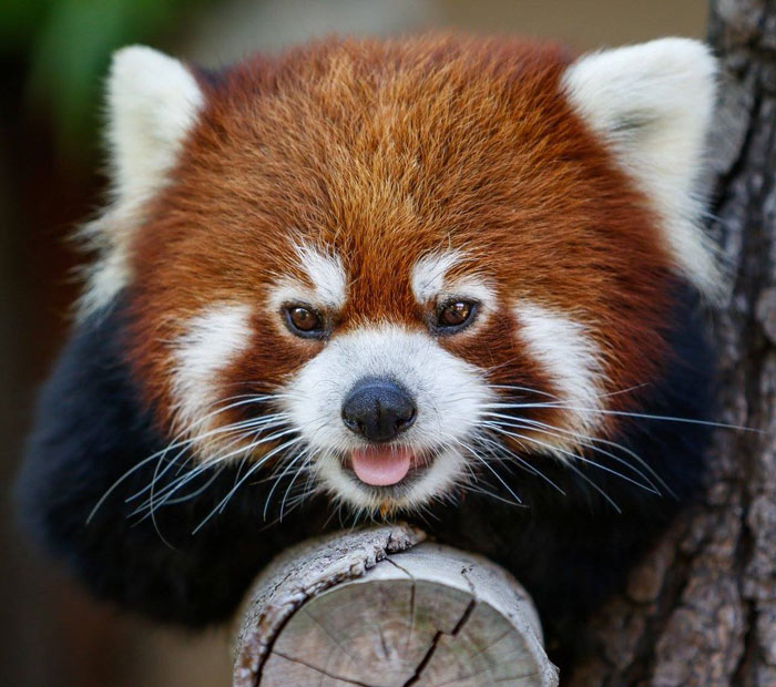Endangered Red Panda at the San Diego Zoo