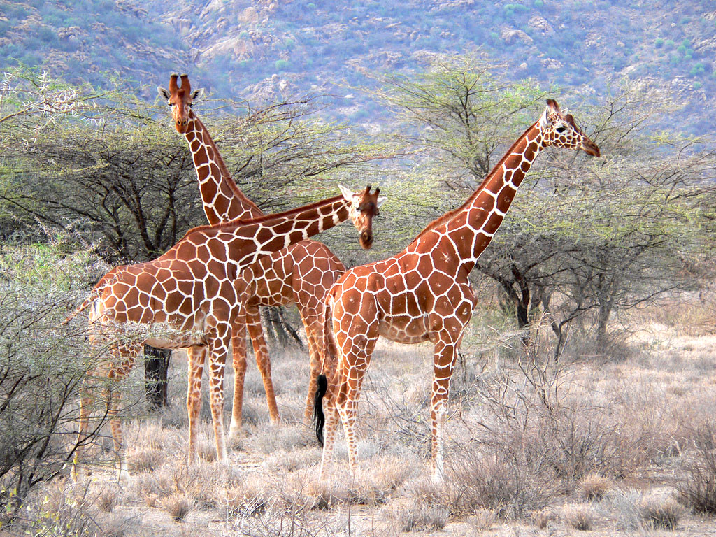 A herd of reticulated giraffes in the wild