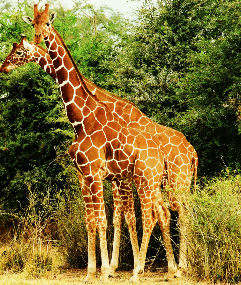 Two reticulated giraffes