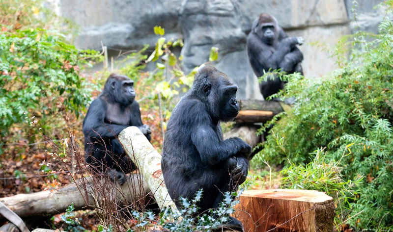 Western lowland gorillas at the Woodland Park zoo immersion habitat exhibit