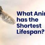 What animal has the shortest lifespan?