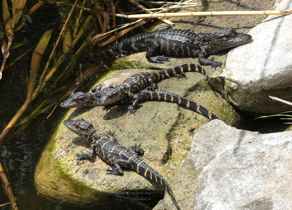 4 Baby Alligators Sitting on a rock out of the water