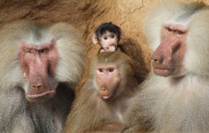 Hamadryas Baboon Family with babies