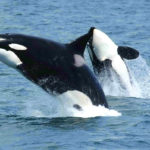 Killer whales jumping out of the water