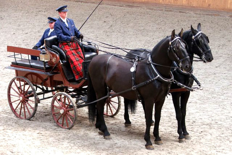 Kladruber horses pull a carriage in the Czech Republic