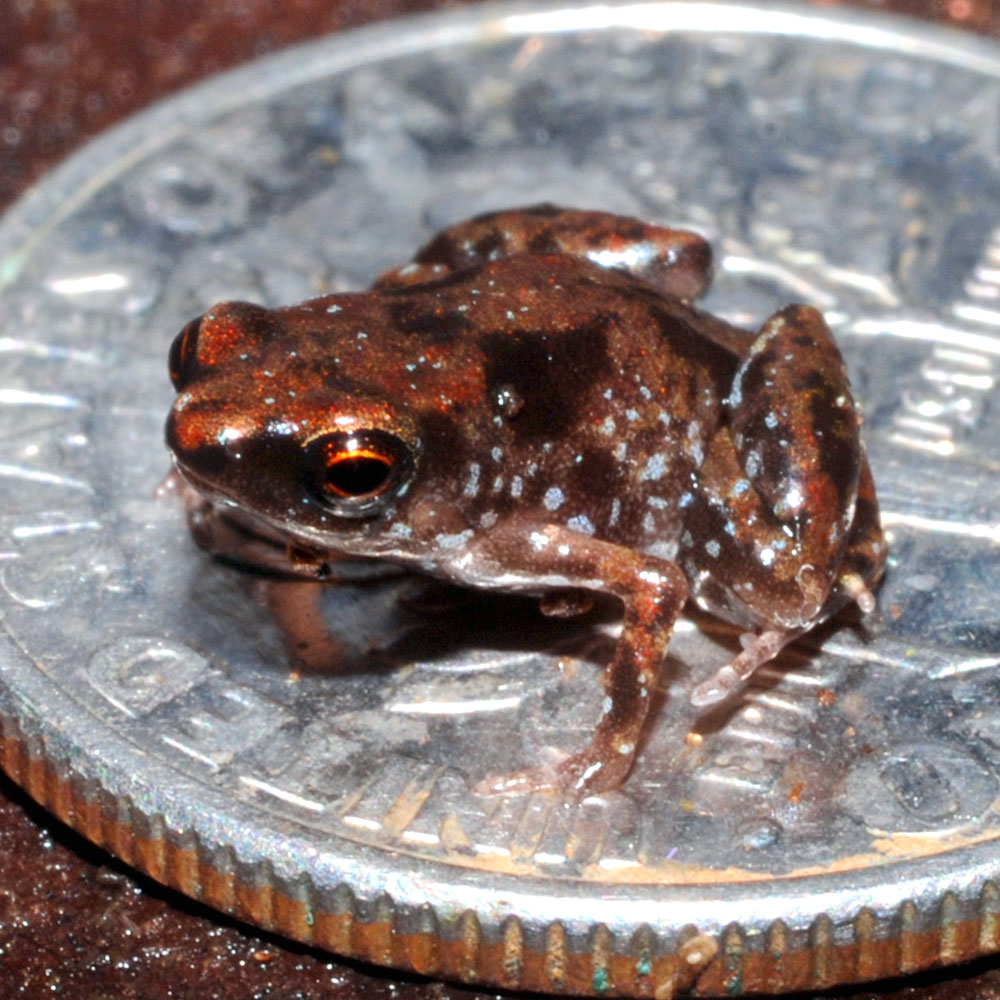 Paedophryne amauensis sitting on a U.S. dime coin for scale