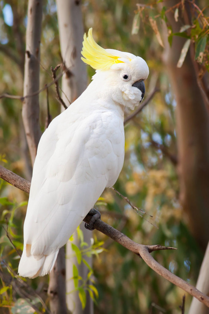 A Cockatoo sitting on a branch