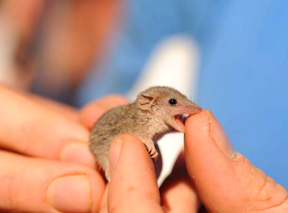 The Long-Tailed Planigale from Australia to scale in a person's hands