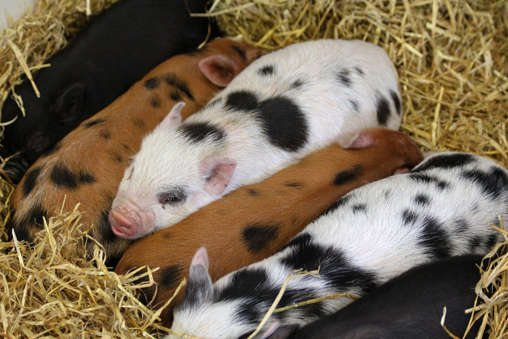Six piglets with spots and varying colors of white, black, and brown