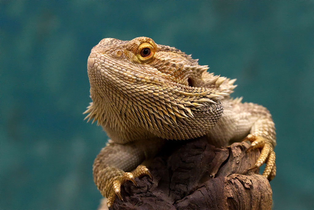 Bearded Dragon sitting on a tree branch looking at the camera