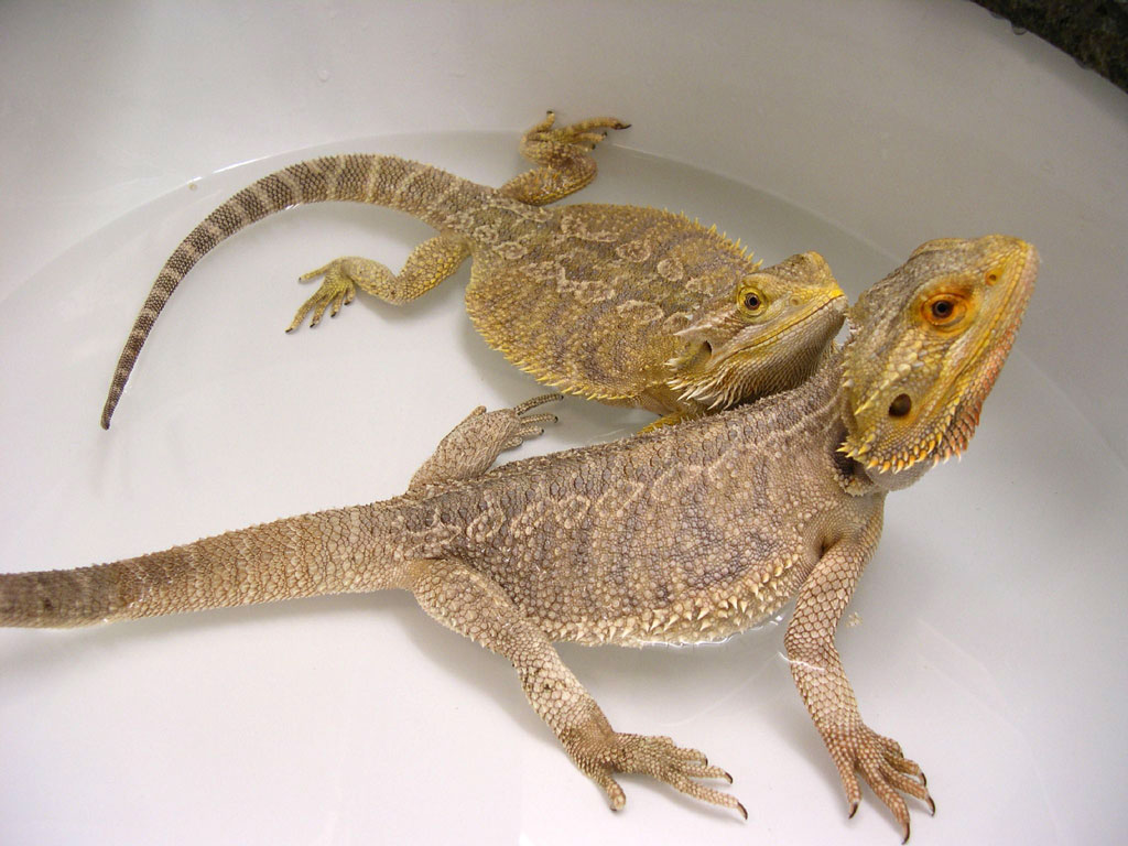Two Bearded dragons sitting in water