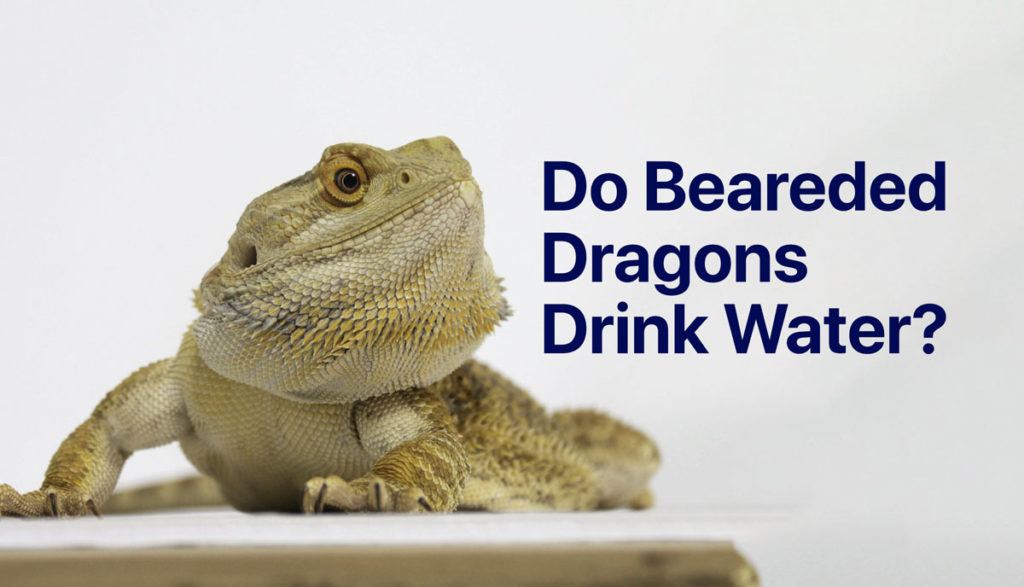 Bearded Dragon with the words Do Bearded Dragons Drink Water?