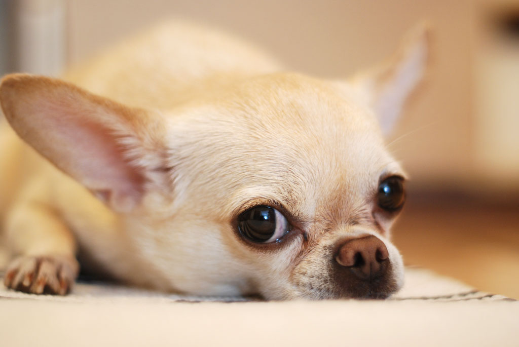 A chihuahua laying down