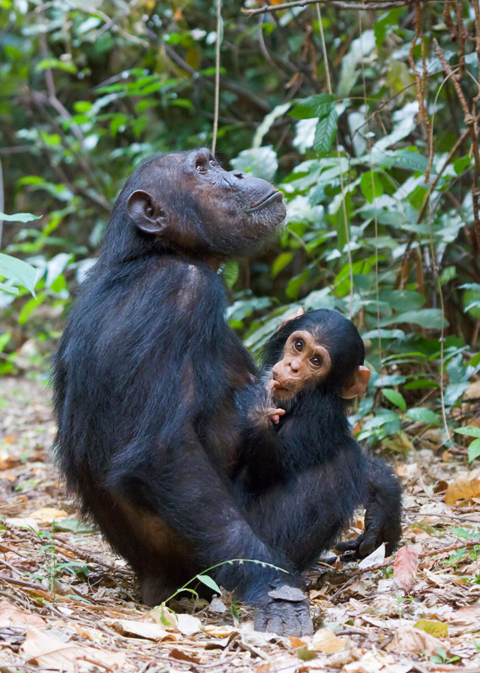 Chimpanzee mother and Chimp baby