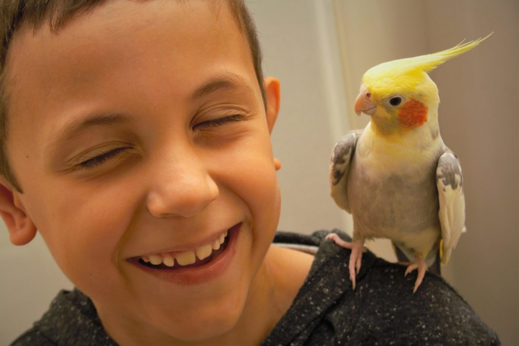 Cockatiel bird on a boy's shoulder