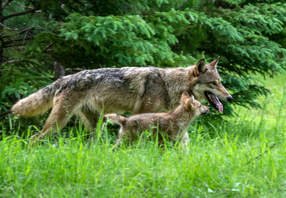 An adult coyote and a baby walking beside it