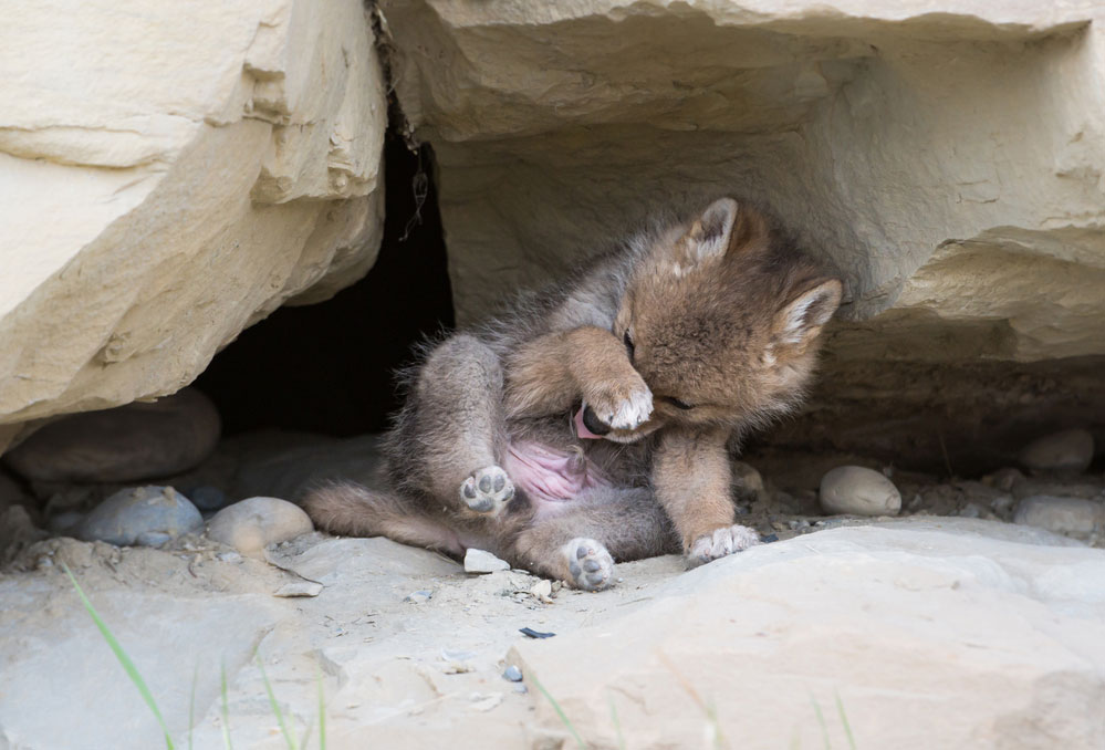 Cute picture of a baby coyote pup cleaning himself