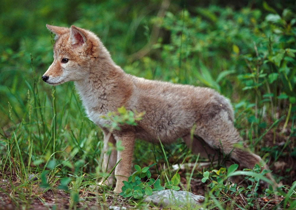 A coyote pup keeping watch