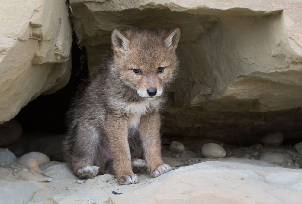 A coyote pup sits in his den
