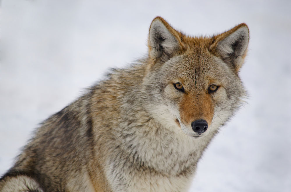 An adult coyote in a cold snowy environment