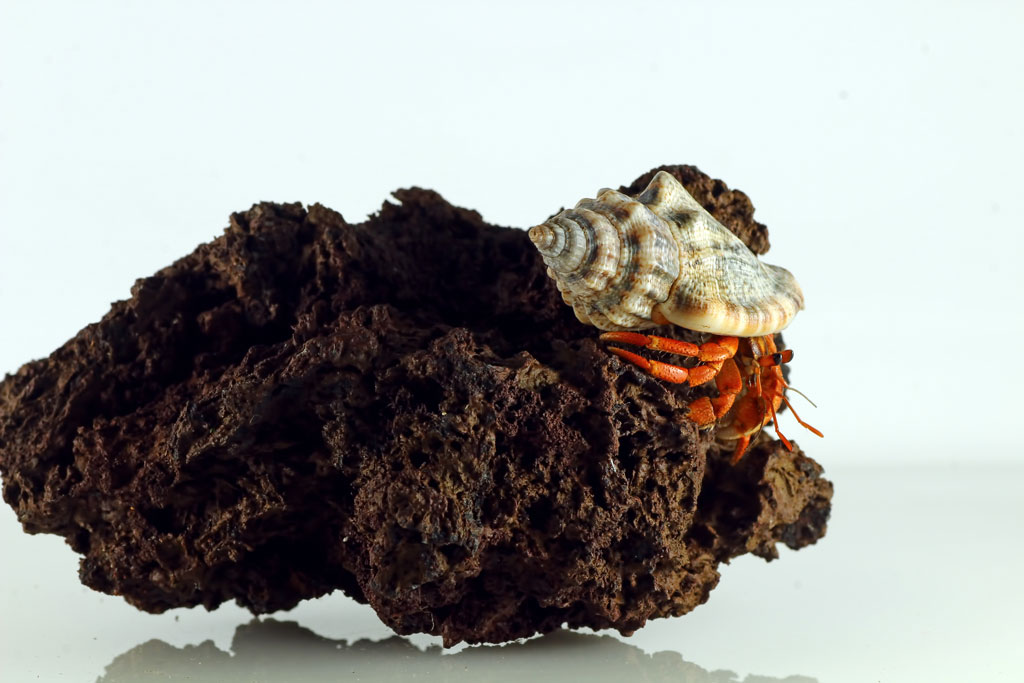 Hermit Crab in a terrarium playing and climbing on a rock