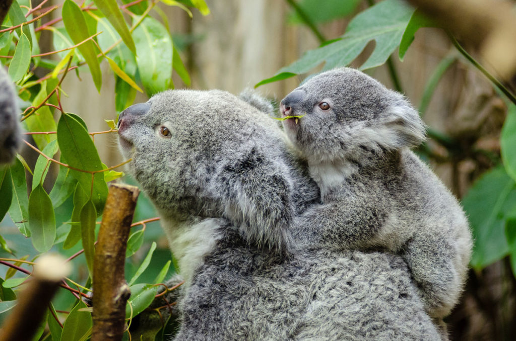 A koala and her baby holding onto her back