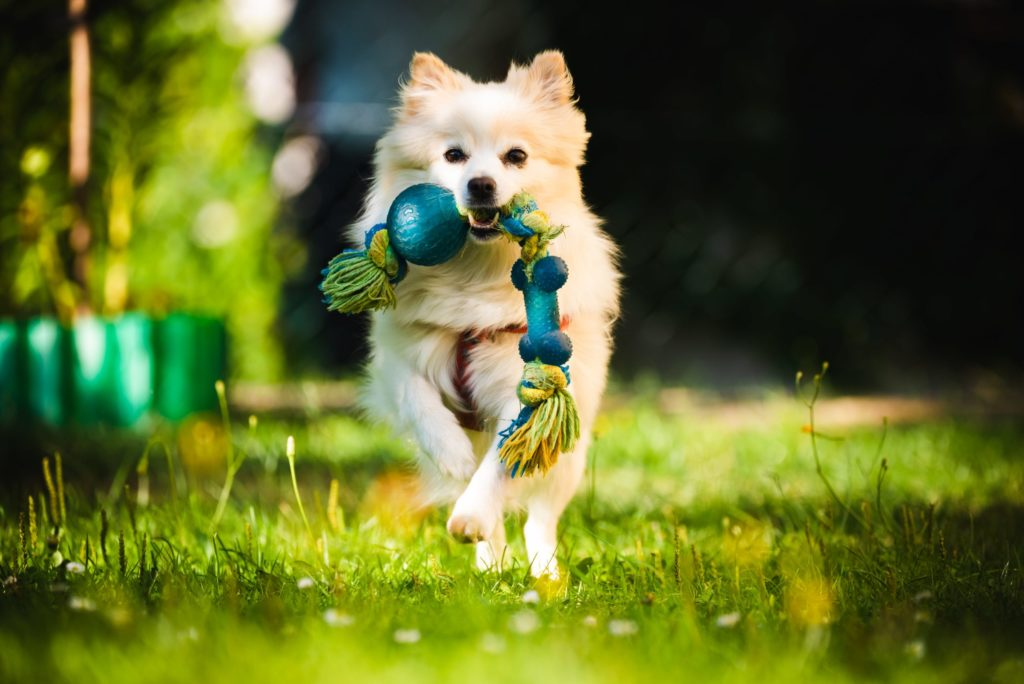 A Pomeranian Dog running with a toy in its mouth