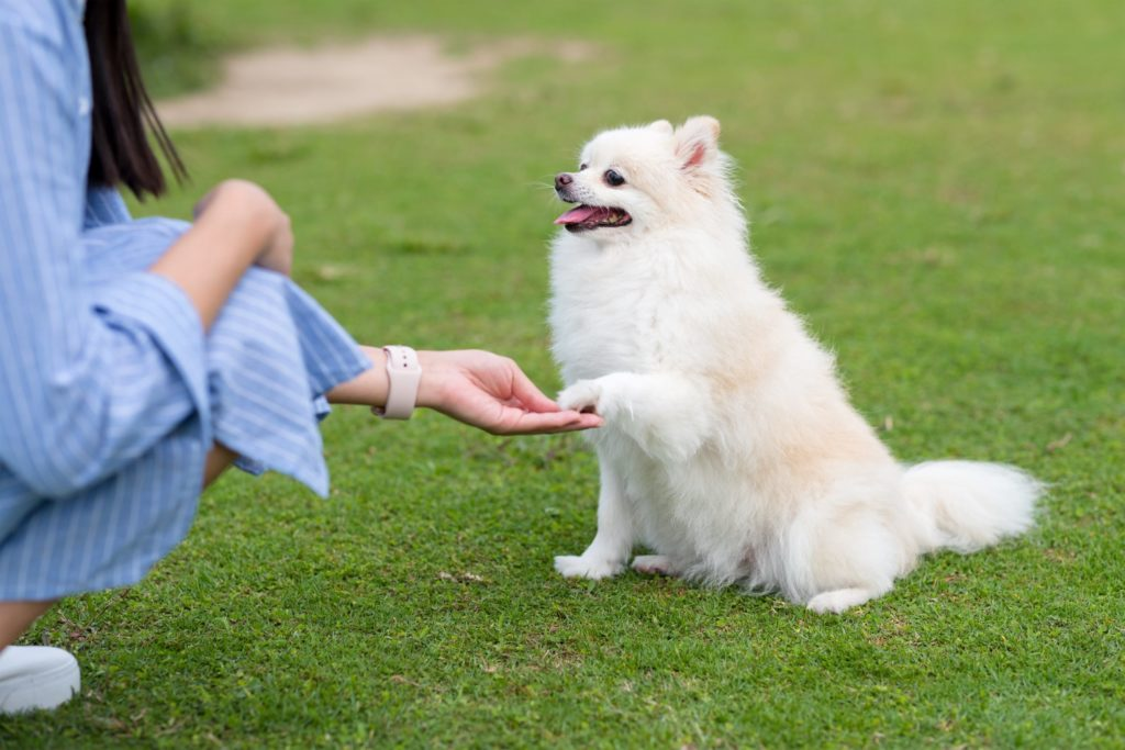 Pomeranian Training holding up its paw to her owner