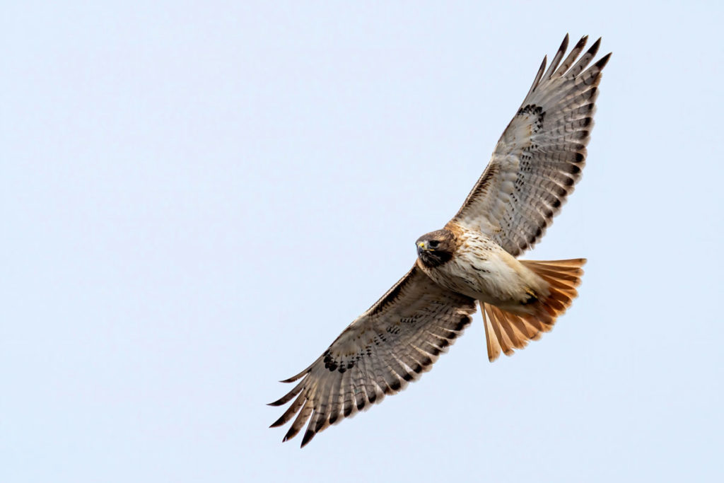 A red tailed hawk flying in the air